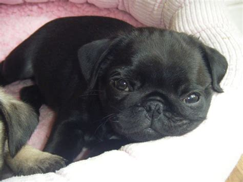 pug breeder uk beautiful pug puppy puppies for sale canterbury kent pets4homes