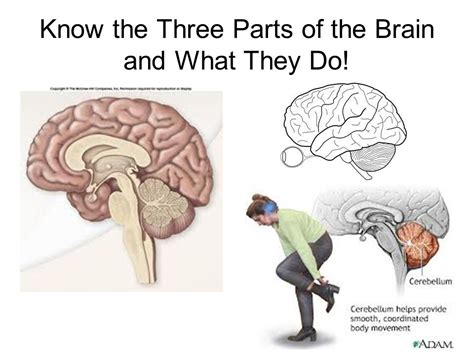 sections of the brain and what they do regulation of body processes ppt download