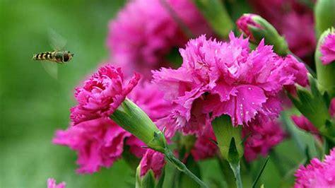 winterharte blumen die lange blühen nelken gedeihen mit wenig pflege an trockenen standorten
