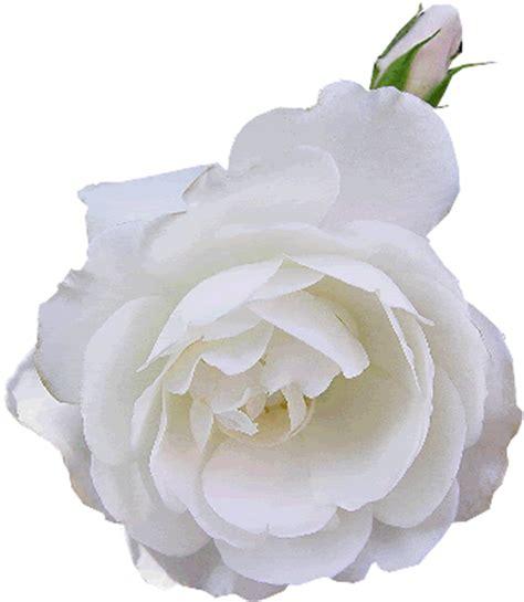 imagenes de rosas blancas animadas tutorial 24