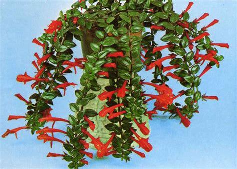 houseplant vine home and garden columnea goldfish plant