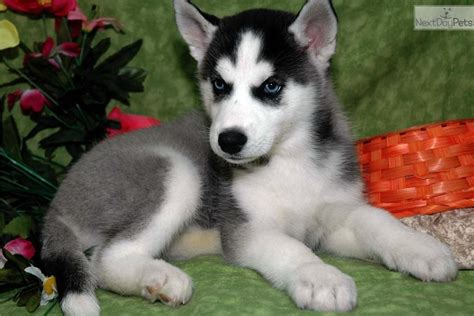 husky puppies for sale near me siberian husky puppy for sale near lancaster pennsylvania 6bc01f85 adanih