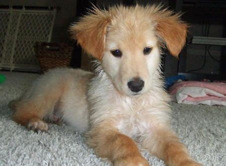 golden retriever weiner mix golden retriever dachshund mix puppy