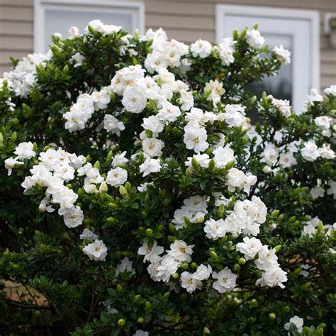 gardenia delivery buy gardenia gardenia jasminoides crown jewel pbr