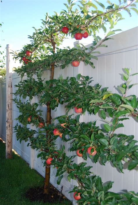 apple tree in my backyard someday i hope to espalier a fig apple or cherry tree in