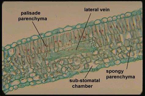 monocot leaf cross section labeled monocot leaf cross section labeled www pixshark com