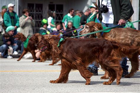 land rover setter dog meet the world s only irish dog breeds in honor of st