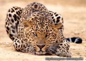 Jaguar Cat Weight Top Animals