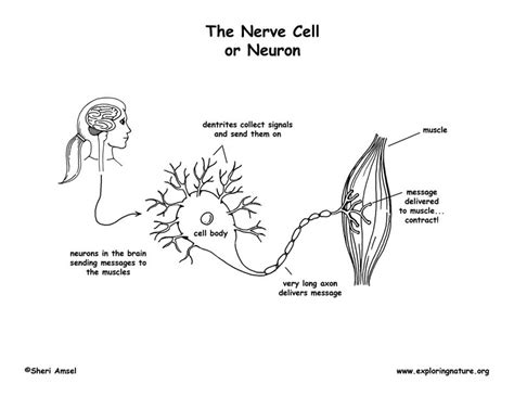 nerve cell coloring nerve cell neuron coloring page