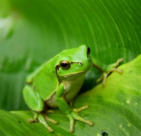 Garden Frogs by Best 25 Green Frog Ideas On Frogs Are Tree