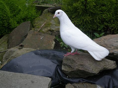 dove love lasts a lifetime here s how to care for pet doves