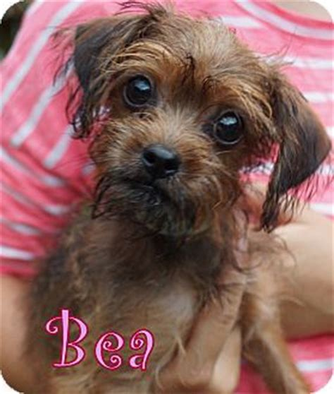 yorkie puppies new jersey 1000 images about our adoptable dogs on