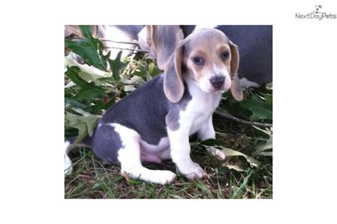 beagle puppies for sale in arkansas beagle puppy for sale near rock arkansas d5d651d1 90d1