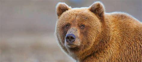 Hallo Bay: Alaska Bear Viewing Tours in Katmai National Park