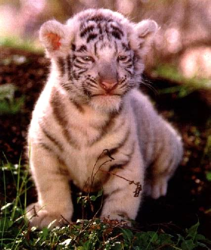 Tiger Is A Scaredy Cat scaredy cat tigers an anomaly of nature
