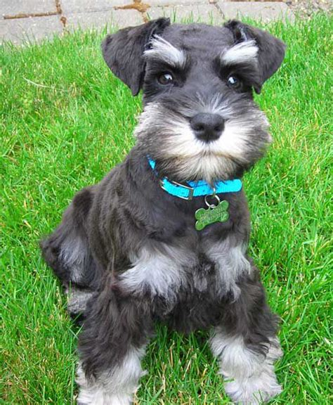 schnauzer cuts and styles schnauzer puppy schnauzers rule pinterest more