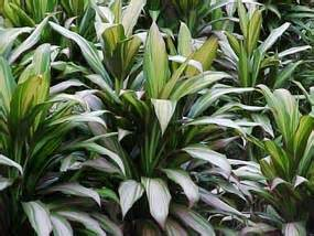 Hawaiian Flower Types - how to grow and care for a cordyline plant