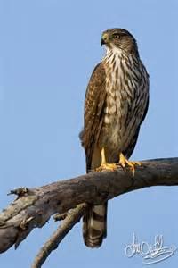 cooper s hawk bolsa chica wetlands huntington beach ca