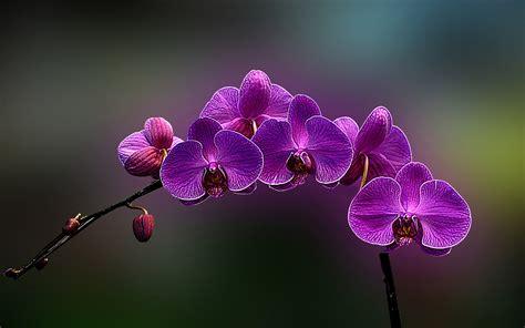 wallpaper bunga anggrek hd orchid flower wallpaper weneedfun