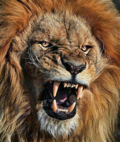 lions roar 103 best images about lions roar my fight name on