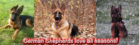 german shepherd puppies wi for sale german shepherd puppies for sale in wisconsin photo