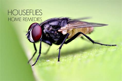 kill house flies 16 home remedies to get rid of house flies and keep them