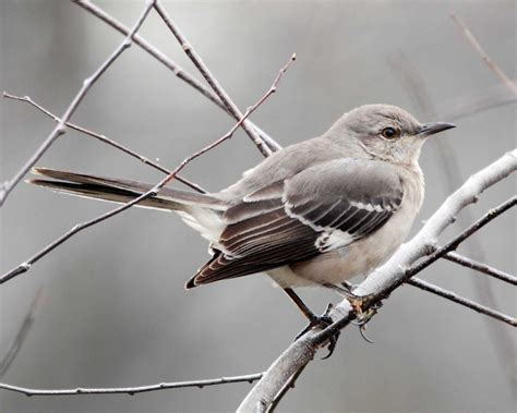 northern mockingbird a beautiful singer birders lounge