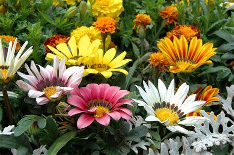 piante mediterranee da vaso gazania vivai tempesta piante mediterranee piante da