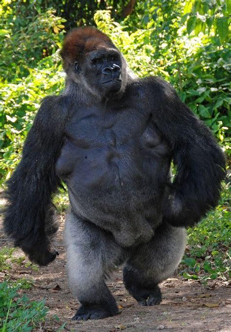 pin  monkeys  apes