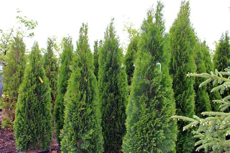 pics for gt evergreen trees