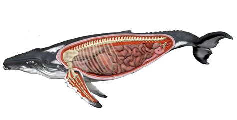 diagram of a humpback whale humpback whale anatomy diagram search megaptera