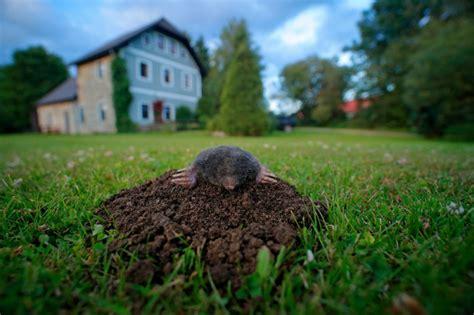eliminare talpe giardino come eliminare le talpe da orti e giardini fai da te mania