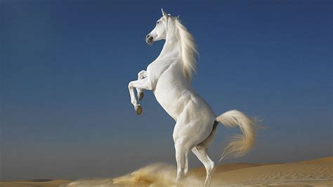 unique photo  white horse standing   leg hd wallpapers