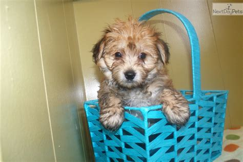 yorkie poo puppies nj yorkiepoo yorkie poo puppy for sale near jersey new jersey cb7d4ae5 f9f1