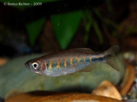 Pakan Larva Ikan Zebra the of underwater danio