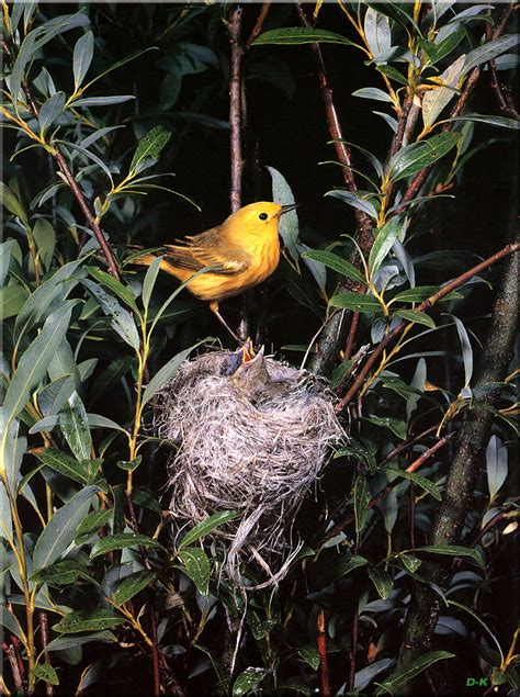 birds of north america yellow warbler image only
