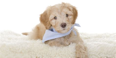 doodle puppy finder how to find the best australian labradoodle breeders