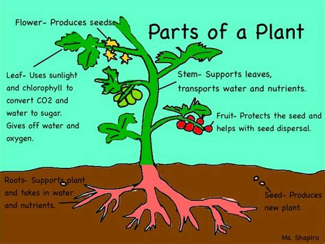 diagram of parts of a plant parts of the plants a diagram of plant parts and their