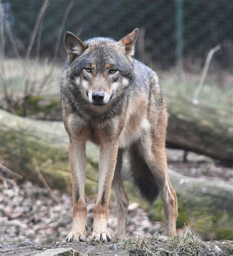 Letter No Research Means Lies Can Dominate canis lupus
