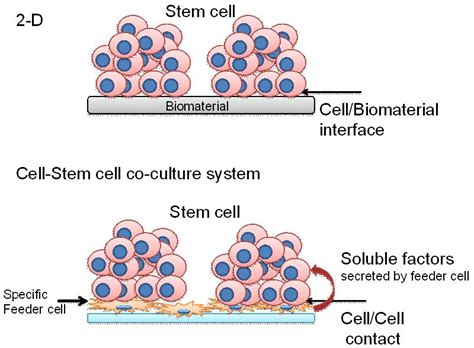 Feeder Cells For Stem Cells induce differentiation of embryonic stem cells by co