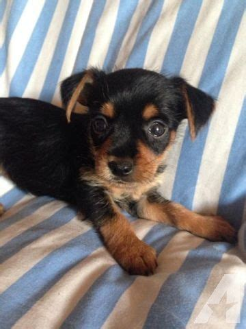 yorkie chiwawa mix yorkie chihuahua mix puppies for sale in indianapolis indiana classified