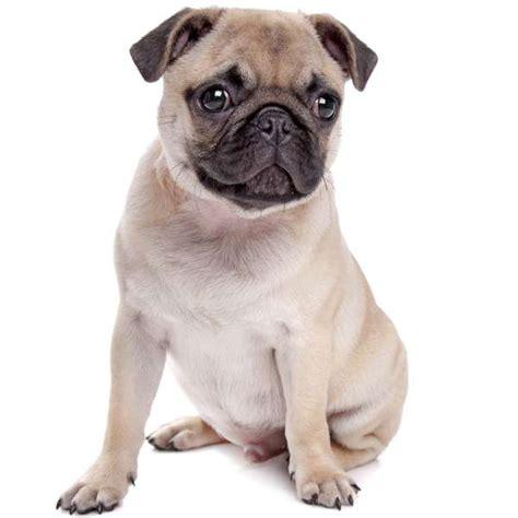 cagnolino da appartamento razza carlino scheda razza su cani it