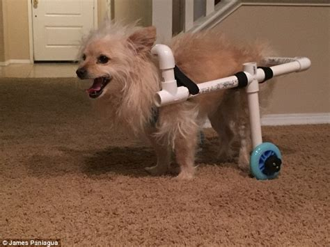 pomeranian back leg problems california builds his s a wheelchair out of pvc pipes daily mail