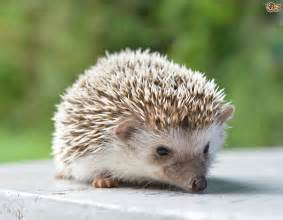 hedgehogs recipe dishmaps