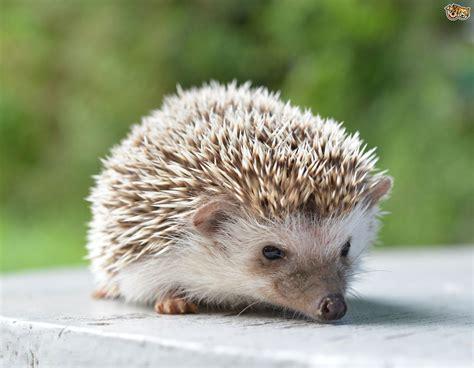 caring for a pet hedgehog pets4homes