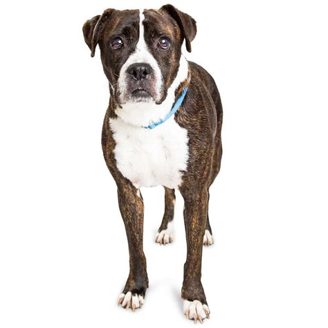 bull boxer bullboxer pit breed 187 everything about pitbull boxer mixes