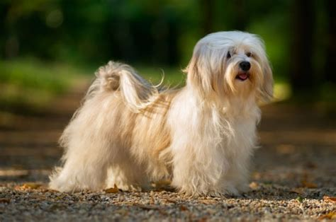 havanese grown weight the havanese dogs puppies care temperament more breeds