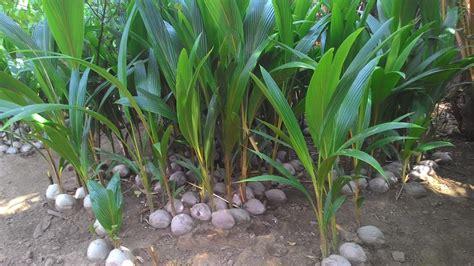 cara menanam pohon kelapa beserta tips budidayanya