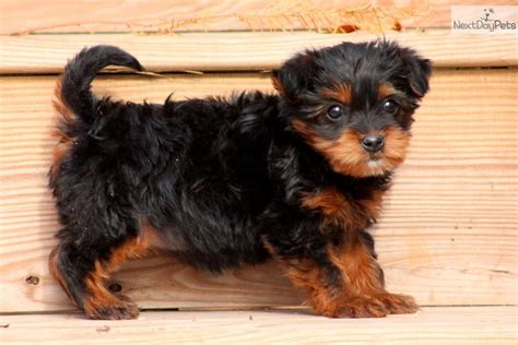 yorkie poo puppies for sale in ohio yorkie poo for sale sold the yorkie poo breeds picture