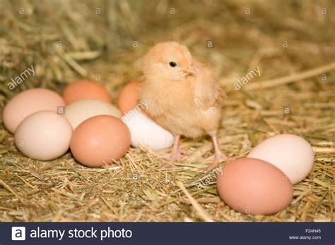 buff orpington egg color buff orpington standing beside eggs of various